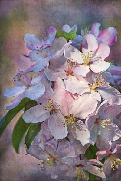 Photograph - Ornamental Crabapple by Theo O'Connor