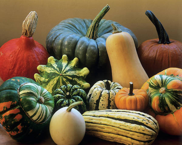 Cucurbita Wall Art - Photograph - Ornamental Gourds by Andrew Ackerley/science Photo Library