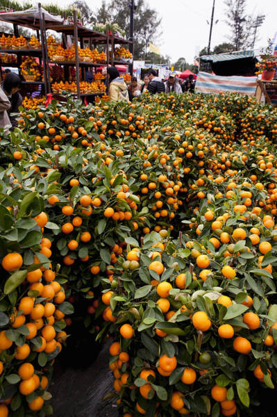Resourceful Photograph - Ornamental Orange Trees In Market, Hong by Cultura Rm Exclusive/nancy Honey