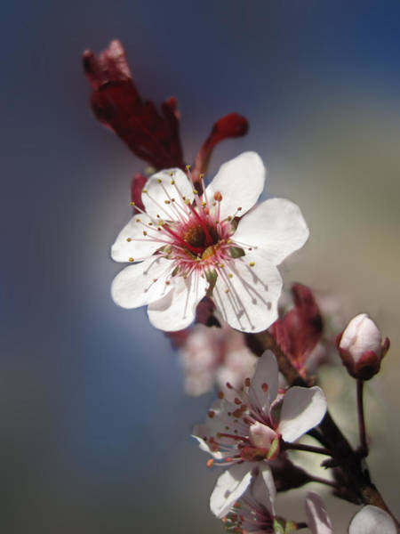 Photograph - Ornamental Plum Blossom by Lara Ellis