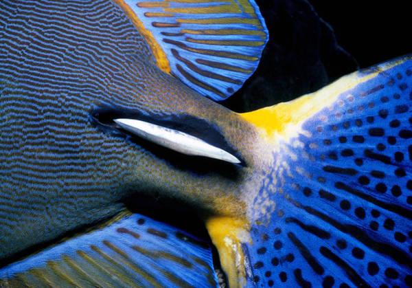 Hawaiian Fish Photograph - Ornate Surgeonfish Tail by Jeff Rotman
