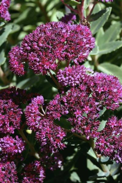 Orpine Photograph - Orpine (sedum Telephium Subsp. Fabaria) by Brian Gadsby/science Photo Library