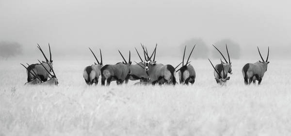 Herd Photograph - Oryx In The Rain by Kirill Trubitsyn
