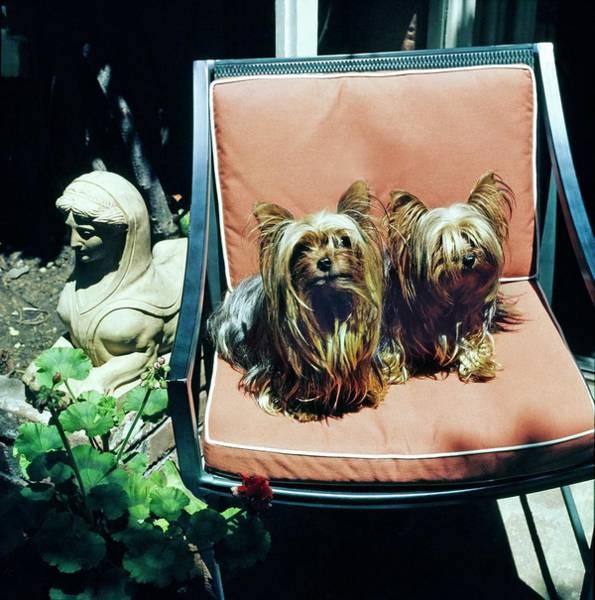 Residence Photograph - Oscar De La Renta's Dogs by Horst P. Horst