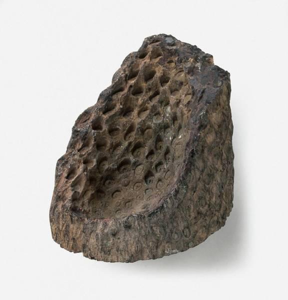 Extinct Photograph - Osmunda Fern Fossil by Dorling Kindersley/uig