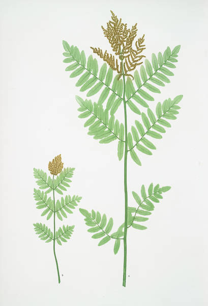 Ferns Drawing - Osmunda Regalis. The Royal, Or Flowering Fern by Litz Collection