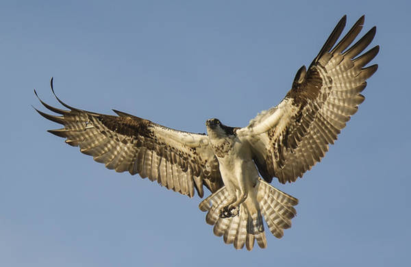 River Hawk Photograph - Osprey #9 by Wade Aiken