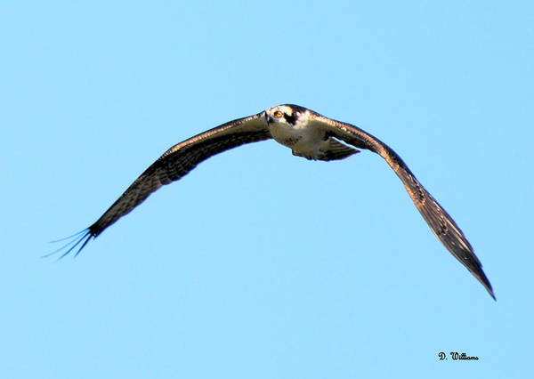Photograph - Osprey Above by Dan Williams