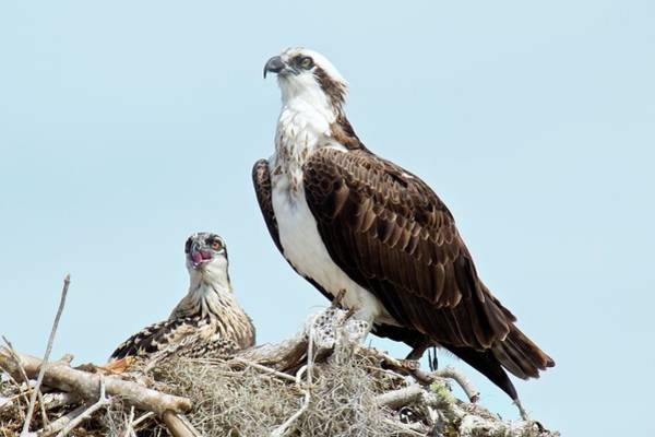 River Hawk Photograph - Osprey And Chick by Bob Gibbons