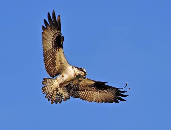 Photograph - Osprey Beauty by Patrick Wolf