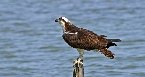 Photograph - Osprey by Bill Hosford