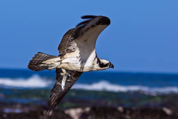 Sea Hawk Photograph - Osprey Bringing Home The Bacon by Kathleen Bishop