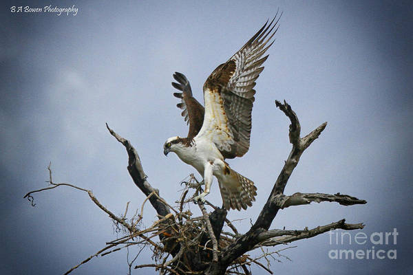 Photograph - Osprey Building A New Nest by Barbara Bowen