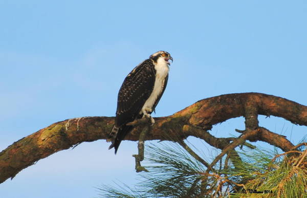 Photograph - Osprey Calling by Dan Williams