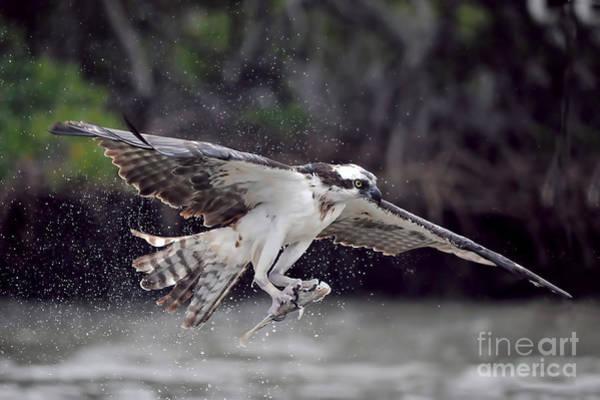 Photograph - Osprey Catching Fish by Dan Friend