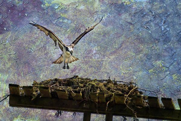 Sea Hawk Photograph - Osprey-coming Home by Belinda Greb