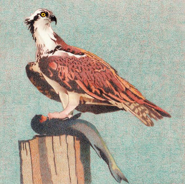Drawing - Osprey by Dan Miller