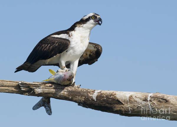Photograph - Osprey by Dan Suzio