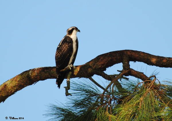 Photograph - Osprey by Dan Williams