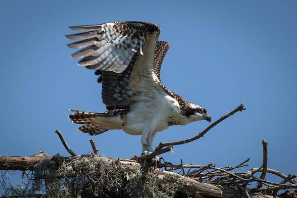 Osprey Departing Nest Art Print