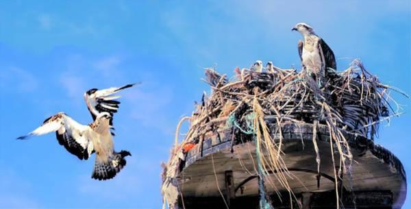 Photograph - Osprey Family by David Rich