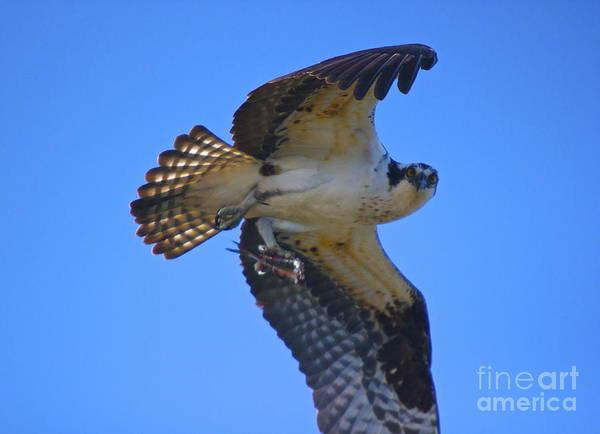 Photograph - Osprey Feeding by Amazing Jules
