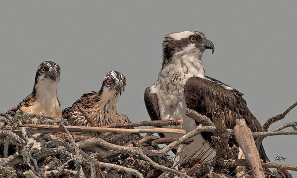 Digital Art - Osprey Female And Chicks by Larry Linton