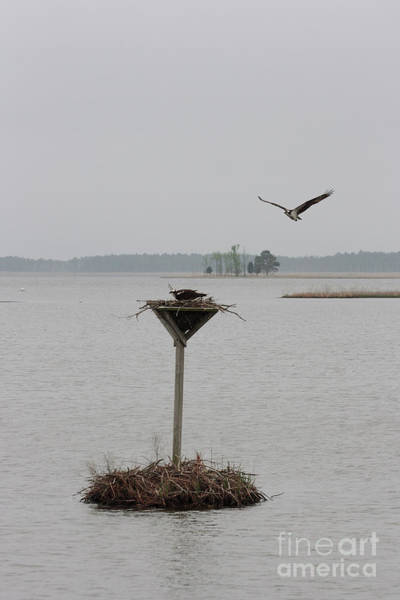 Photograph - Osprey Flying In To Nest At Blackwater Wildlife Refuge In Maryland by William Kuta