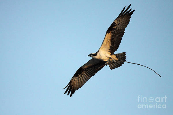 Wall Art - Photograph - Osprey Flying With Nesting Material by Max Allen