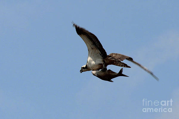 Photograph - Osprey Grabs Lunch by Jemmy Archer