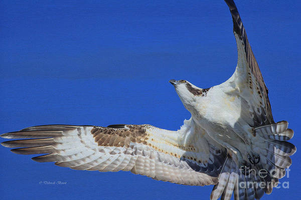 Photograph - Osprey Grace And Beauty by Deborah Benoit