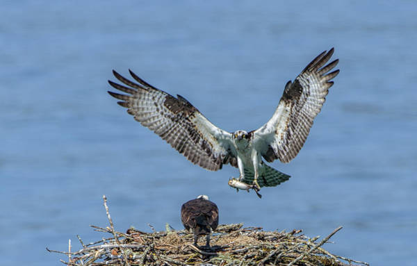 Photograph - Osprey Home Delivery by Paul W Sharpe Aka Wizard of Wonders