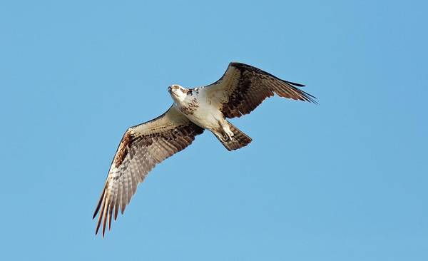 River Hawk Photograph - Osprey In Flight by Bob Gibbons
