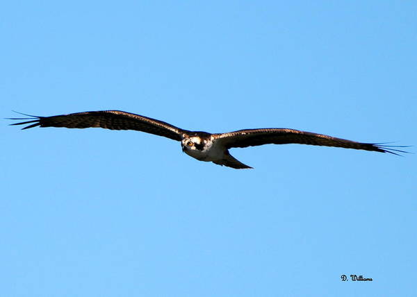 Photograph - Osprey In Flight by Dan Williams