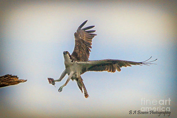 Photograph - Osprey Landing by Barbara Bowen