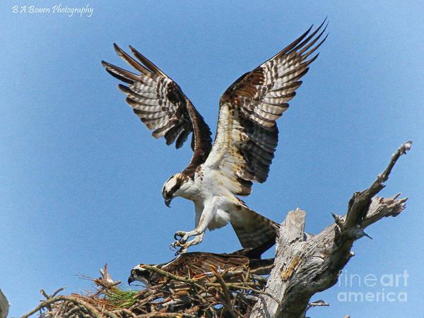 Photograph - Osprey Mating by Barbara Bowen