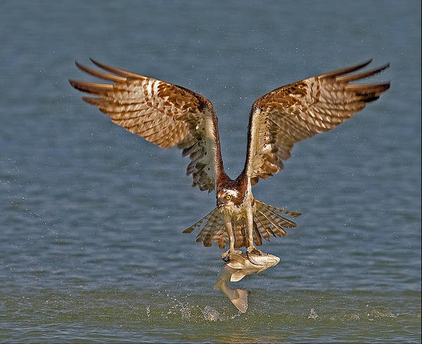 Wall Art - Photograph - Osprey Morning Catch by Susan Candelario