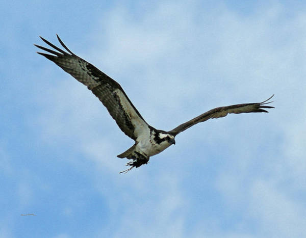 Bird In Flight Digital Art - Osprey Nest Building by Ernie Echols