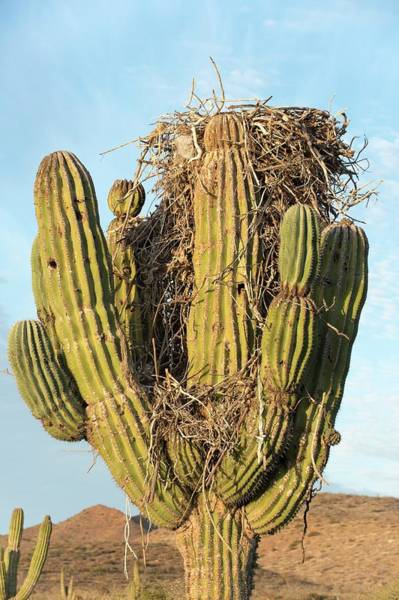 Osprey Nest In A Cactus Art Print by Christopher Swann