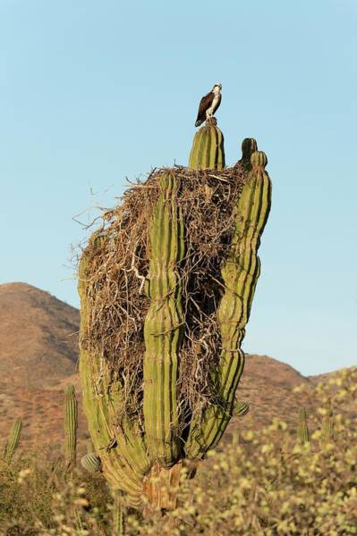 Adapted Photograph - Osprey Nesting In A Cactus by Christopher Swann
