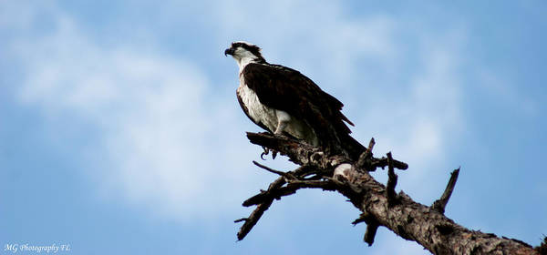 Photograph - Osprey On Perch by Marty Gayler