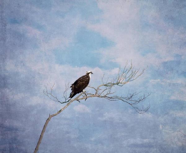 Wall Art - Photograph - Osprey On Tree Branch by Kim Hojnacki