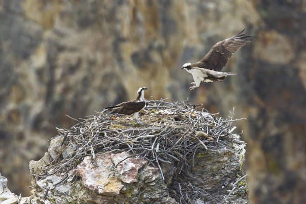 Photograph - Osprey Pair by Jack R Perry