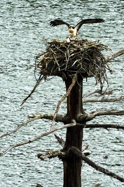 Photograph - Osprey Pair Nesting by Thomas R Fletcher