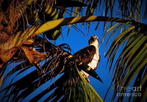 Ospreys Photograph - Osprey Paradise by Quinn Sedam