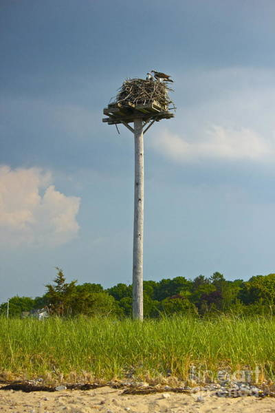 Photograph - Osprey Parents by Amazing Jules