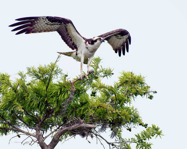 Treasure Hunt Wall Art - Photograph - Osprey - Poised For Take-off by Nikolyn McDonald