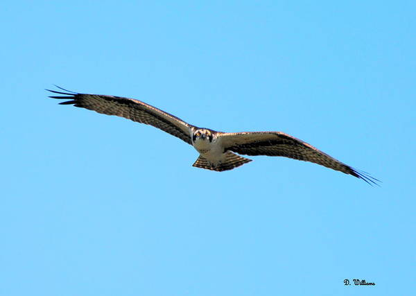 Photograph - Osprey Soaring Above by Dan Williams