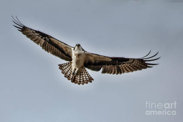 Sea Hawk Photograph - Osprey Soaring by Robert Bales