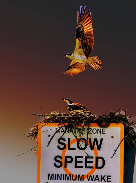 Photograph - Osprey Soars At Dusk by Jeff Kurtz
